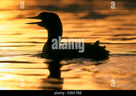 Loon comune nuoto nel lago al tramonto ( gavia immer ) Foto Stock