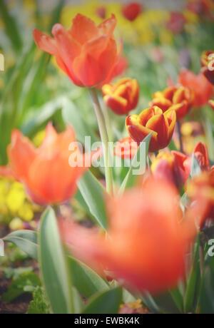 Soft focus su red tulip con gocce d'acqua sulla flowerhead. Croce immagine elaborata. Foto Stock