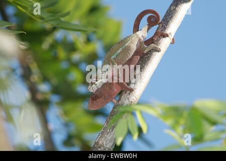 L'accoppiamento Panther camaleonti (Furcifer pardalis) Maroantsetra, Madagascar Foto Stock