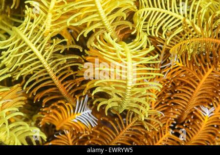 Giù i bracci a stella e cirri, Comaster schlegelii, Anilao, Batangas, Filippine, Pacific Foto Stock