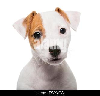 Jack Russell Terrier cucciolo (2 mesi) davanti a uno sfondo bianco Foto Stock