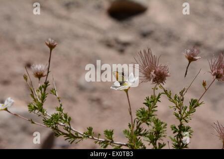 Il ginepro Hairstreak Butterfly su Apache impianto pennacchio - New Mexico - USA