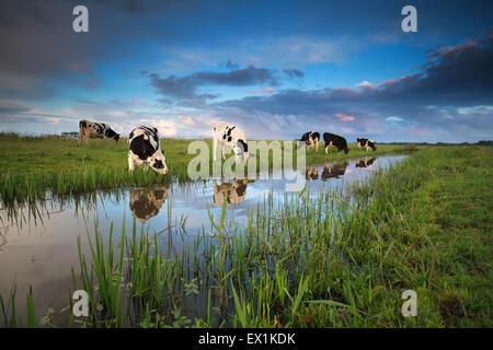 Le mucche al pascolo su terreni adibiti a pascolo dal fiume in estate Foto Stock