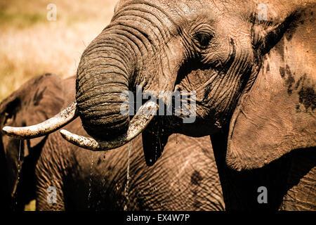 Close-up di un elefante africano (Loxodonta africana) giocando e acqua potabile in Masai Mara Kenya Foto Stock