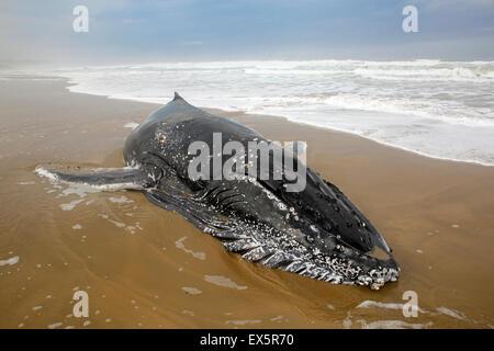 Bambino morto Humpback Whale sulla spiaggia. Dopo alaggio stesso tentativi di salvataggio non riuscito eventualmente dovuta alla grande da surf