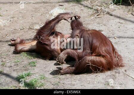 Due giovani maschi Bornean orangutan (Pongo pygmaeus) wrestling ogni altro Foto Stock