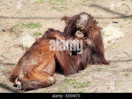 Sounky giovane maschio Bornean orangutan (Pongo pygmaeus) giocando con ciascun altro e wrestling Foto Stock