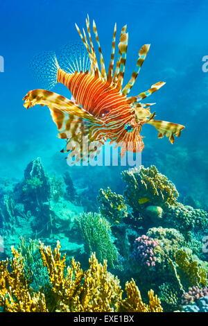 Leone sulla barriera corallina, pterois volitans, Dahab, Sinai, Mar Rosso, Egitto Foto Stock