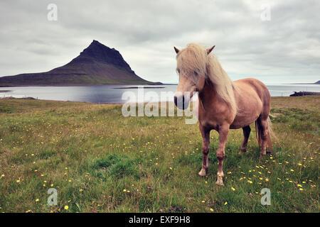 Cavallo islandese, Snaefellsnes Peninsula, Islanda Foto Stock
