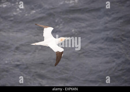Northern gannet, Sula bassana, in volo visto da sopra con il mare in background Foto Stock