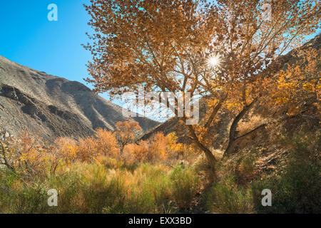 Vista di pioppi neri americani Canyon Foto Stock