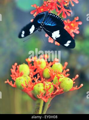 Farfalle esotiche fiore tropicale, Ecuador Foto Stock