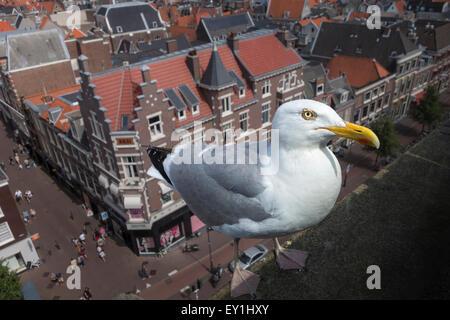 Un grande Gabbiano Olandese, aringa gabbiano (Larus argentatus argenteus) su un tetto alto sopra la città di Haarlem, Foto Stock