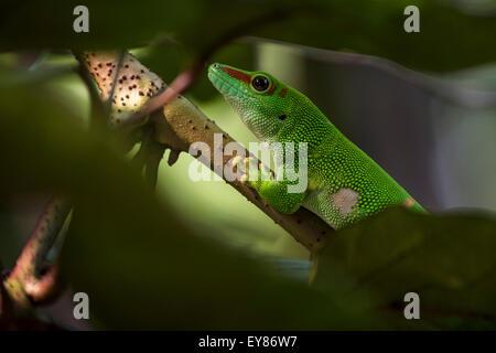 Madagascar giorno Gecko (Phelsuma madagascariensis), captive, nativo del Madagascar