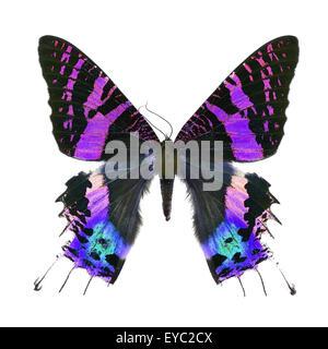Bellissime farfalle multicolori, Tramonto Moth, Urania ripheus (Madagascar) in fantasia profilo colore, isolato Foto Stock
