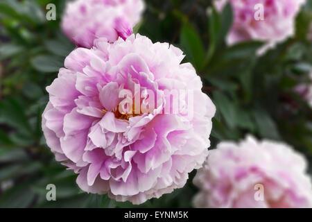 Grande Peonia Rosa fioritura delle piante in un giardino con sfondo sfocato.