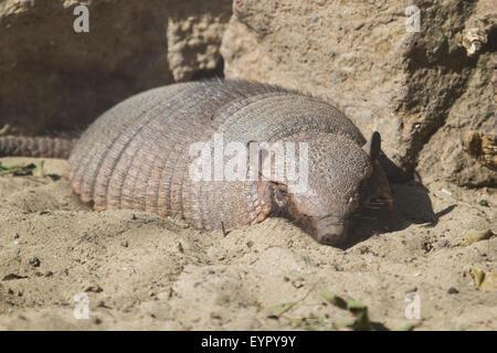 Un grande hairy armadillo, Chaetophractus villosus, appoggiato sulla sabbia in una giornata di sole Foto Stock