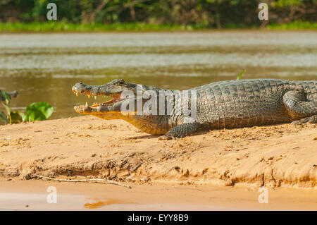 Caimano, crocodilus Caimano Spectacled ensoleillement sull argine, Cuiaba River, Pantanal, Brasile Foto Stock