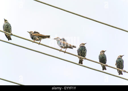 Starling comune (Sturnus vulgaris), storni su una linea ad alta tensione, in Germania, in Renania settentrionale Foto Stock