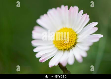Daisy comune, prato daisy, inglese daisy (Bellis perennis), fiore, in Germania, in Baviera, Oberpfalz Foto Stock