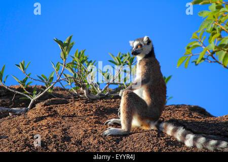 Anello-tailed lemur (Lemur catta), seduta su una roccia a guardare nel la distanza, Madagascar, Andringitra Parco Foto Stock