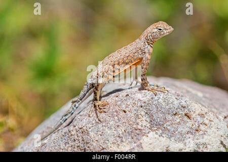 Maggiore Earless Lizard (cfr. Cophosaurus texanus), si erge su una roccia, USA, Arizona Foto Stock