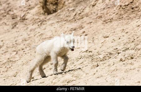 Baby capre di montagna a Salt Lick, surriscaldato e cercando ombra, su Mt Norquay Road al di fuori di Banff nel Foto Stock
