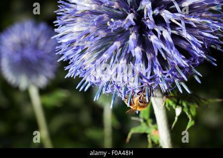 Primo piano di ape su purple thistle o Echinops bannaticus Foto Stock