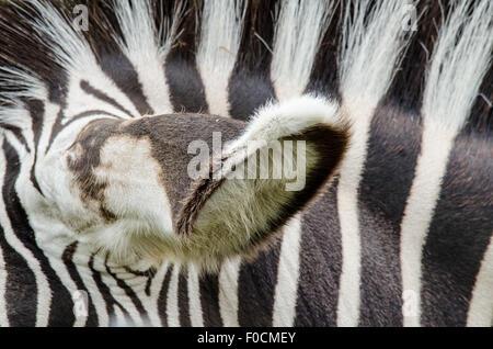 Zebra orecchio e strisce Foto Stock