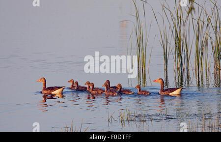 Graylag Goose (Anser anser) coppia con goslings sull acqua, Pusztaszer, Ungheria, Maggio 2008 Foto Stock
