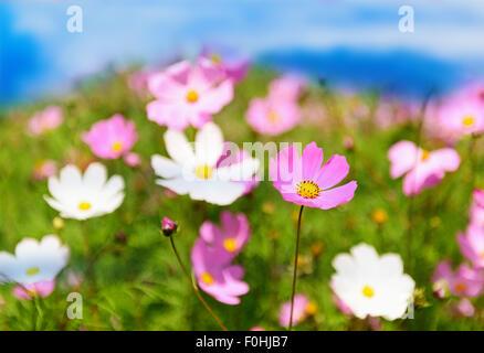 Un prato di fiori d'estate su sky Foto Stock