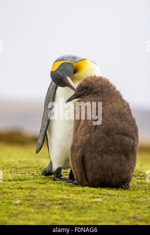 Pinguino reale (Aptenodytes patagonicus) alimentazione chick. Volunteer Point, Isole Falkland.
