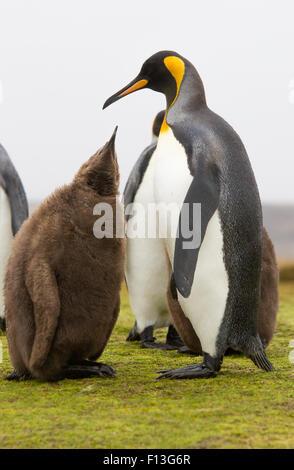 Re Penguin chick raggiungendo al genitore che deve essere alimentata.