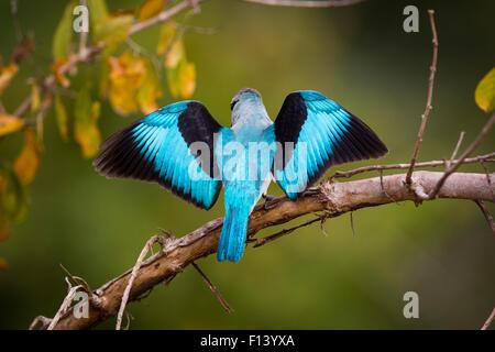 Woodland Kingfisher (Halcyon senegalensis) da dietro con ali stese, South Luangwa National Park, Zambia. Aprile. Foto Stock