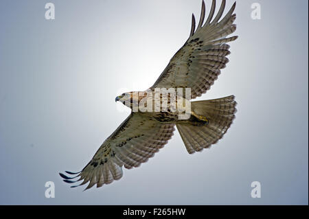 Red-tailed Hawk in volo Foto Stock