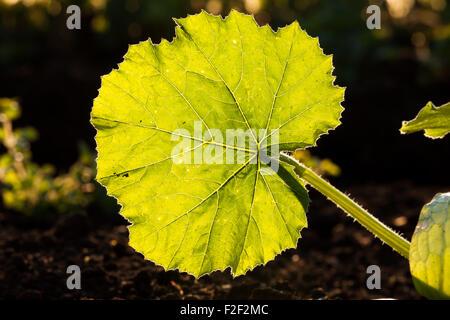 Illuminato foglie grandi vene closeup Foto Stock