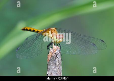 Femmina Meadowhawk Ruby (Sympetrum rubicundulum)