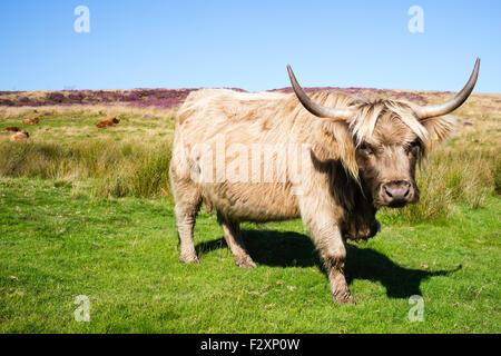 Un vigile longhorn cow prendendo una pausa dal pascolo, Levisham Moor, North York Moors, nello Yorkshire, Inghilterra, Foto Stock