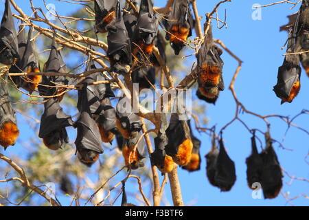 Il grigio-headed flying fox (Pteropus poliocephalus) è un nativo megabat in Australia ed è il più grande pipistrello in Australia. Foto Stock