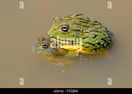 Una coppia di gigante africano bullfrogs (Pyxicephalus adspersus) coniugata, Sud Africa Foto Stock