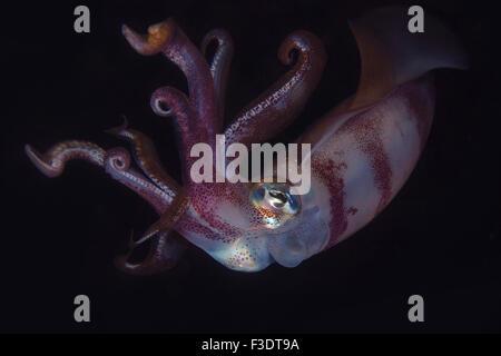 In prossimità di una barriera corallina Bigfin Squid (Sepioteuthis lessoniana) di notte Foto Stock