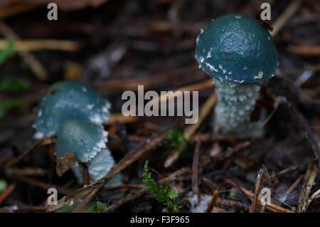 Stropharia caerulea blu-verde, funghi, Estonia, 06 ottobre, 2015 Foto Stock