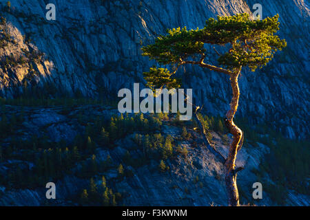 Albero di pino a sunrise in Nissedal, Telemark fylke, Norvegia. Foto Stock