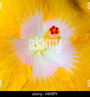 Hawaiian Hibiscus; giallo; Hibiscus Hibiscus brackenridgei; stato fiore di Hawaii; pua aloalo; ma'o hau hele; Kalapaki Bay