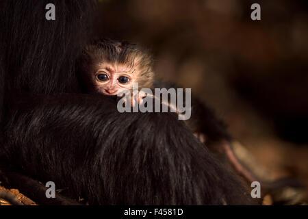 Lion-coda Macaque (Macaca silenus) del bambino di età inferiore a 1 mesi udienza con sua madre. Anamalai Riserva Foto Stock