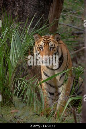 Tigre del Bengala (Panthera tigris) sub-adulto, circa 17-19 mesi, tra la vegetazione di foresta. In via di estinzione. Foto Stock