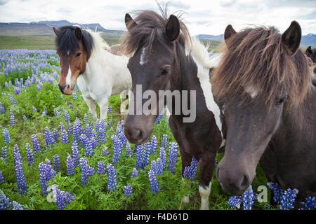 Cavalli islandesi in un prato di blu Alaskan lupini, Varmahlid, Skagafjordur, Nordhurland Vestra, Islanda. Foto Stock