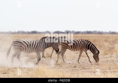 Zebra su polverosi di sabbia bianca. Il parco nazionale di Etosha, Ombika, Kunene, Namibia. La vera fotografia della Foto Stock