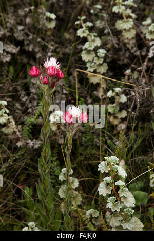 Foresta di Harenna, Bale Mountains National Park, Etiopia Foto Stock