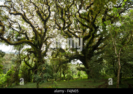 Muschi sugli alberi a foresta di Harenna, Bale Mountains National Park, Etiopia Foto Stock